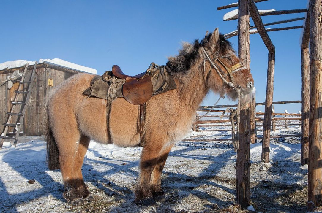 1200px-a_yakutian_horse_28976234567429