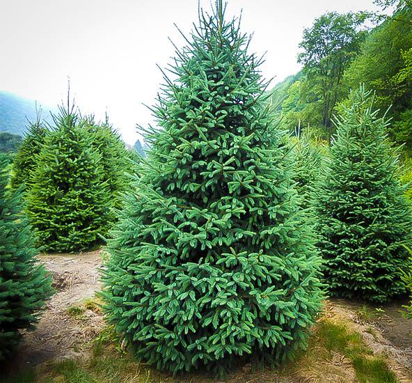 black-hill-spruce-1.jpg